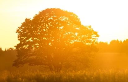 Oak at Sunset